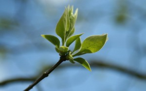 Green flower buds